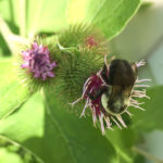 bee-and-burdock