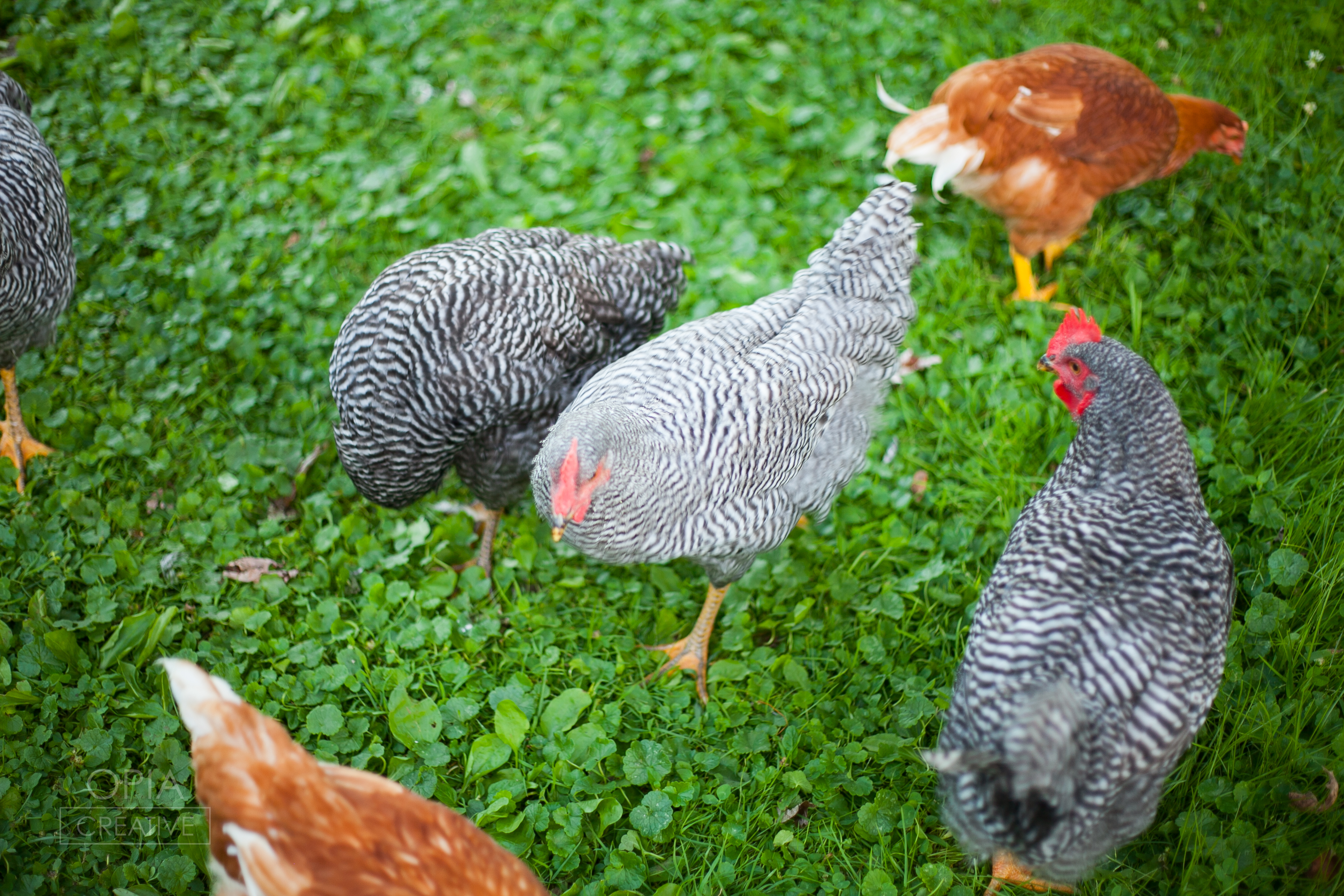 Thyme Herbal Farm Chickens