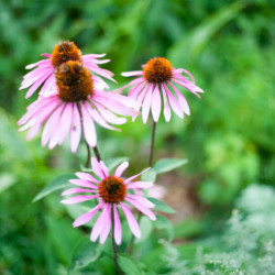 Echinacea In Thyme Herbal Gardens