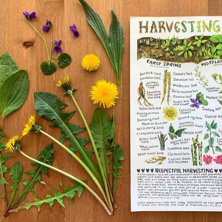 Harvesting/Wildcrafting Calendar poster