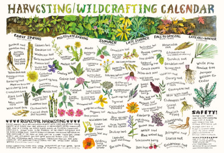 Harvesting Wildcrafting Calendar by Brittany Wood Nickerson and Chelsea Granger