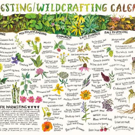 Harvesting/Wildcrafting Calendar